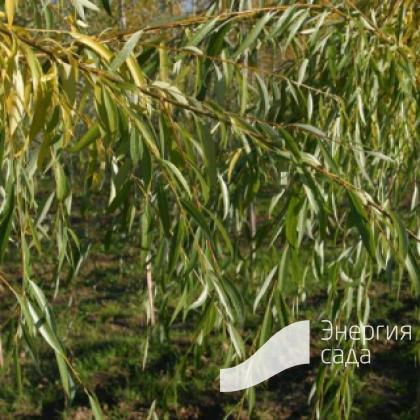 Ива «Плакучий Гном» (Salix «Placutschii Gnom»)