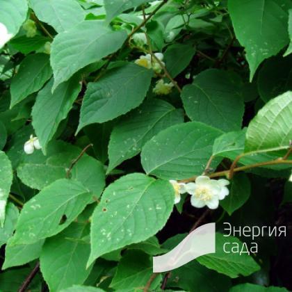 Актинидия полигамная (Actinidia polygama).