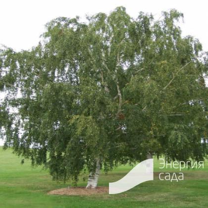 Береза повислая (Betula pendula)