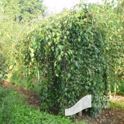 Береза повислая, бородавчатая, плакучая «Long Trunk» (Betula pendula «Long Trunk»)
