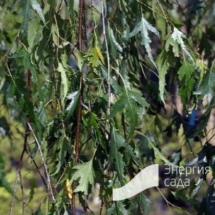 Береза повислая, бородавчатая, плакучая «Gracilis» (Betula pendula «Gracilis»)