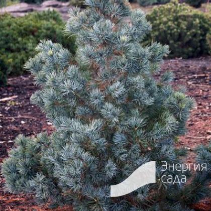 Сосна мелкоцветковая «Блю Гиант» (Pinus parviflora «Blue Giant»)