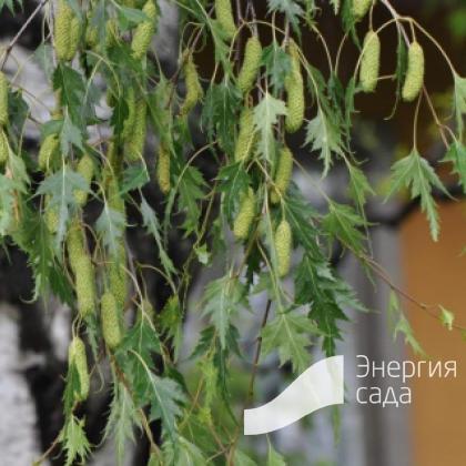 Береза повислая, бородавчатая, плакучая «Crispa» (B. pendula var. dalecarlica = Laciniata' Betula pendula «Crispa»)