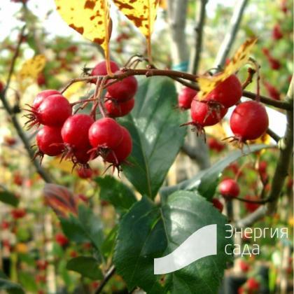 """Crataegus × persimilis «Prunifolia «Splendens» Crataegus × persimilis «Splendens"""""""