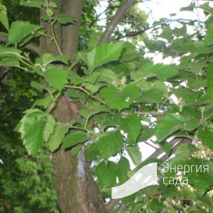 Боярышник мягковатый, полумягкий (Crataegus submollis)