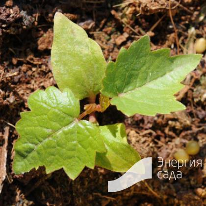 Виноград лесной (Vitis sylvestris)