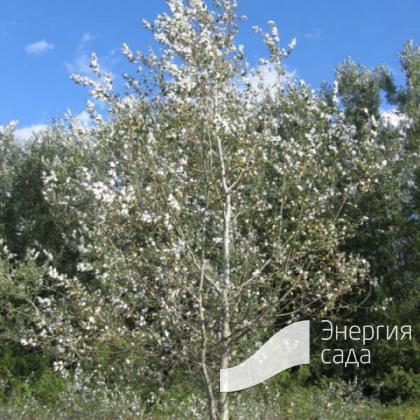 Тополь белый, серебристый (Populus alba)