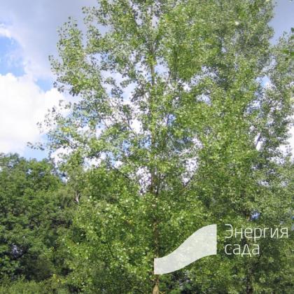 Тополь канадский (Populus × canadensis).