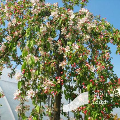 Яблоня «Ред Джед» (Malus «Red Jade»)