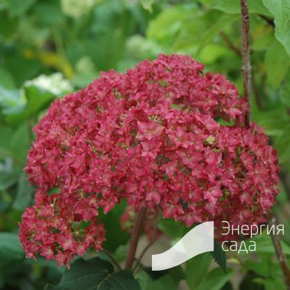 Гортензия древовидная «Белла Анна» (Hydrangea arborescens «Bella Anna»).