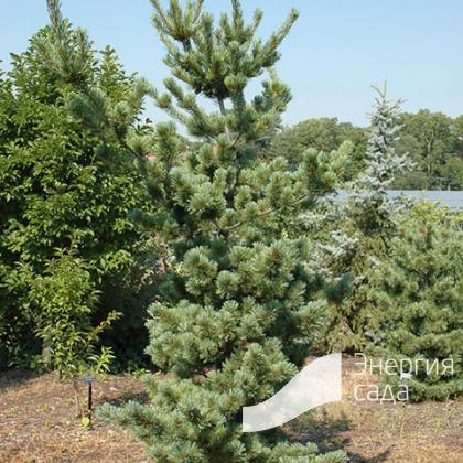 Pinus parviflora «Tempelhof»