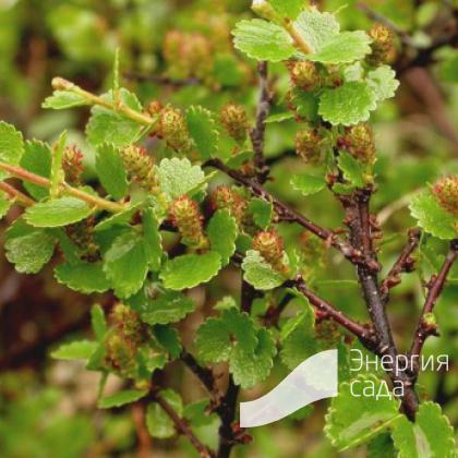 Береза карликовая, березовый стланец, ерник (Betula nana)