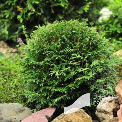 Туя западная «Глобоза Нана Аурея» (Thuja occidentalis «Globosa Nana Aurea»)