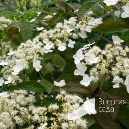 Гортензия Бретшнейдера (Hydrangea heteromalla «Bretschneideri» = H. bretschneideri).