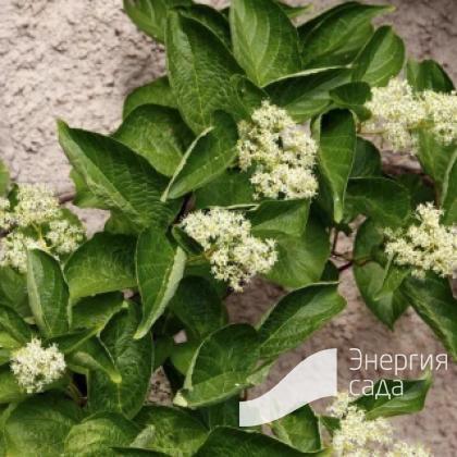 Трехкрыльник Регеля (Tripterygium regelii).