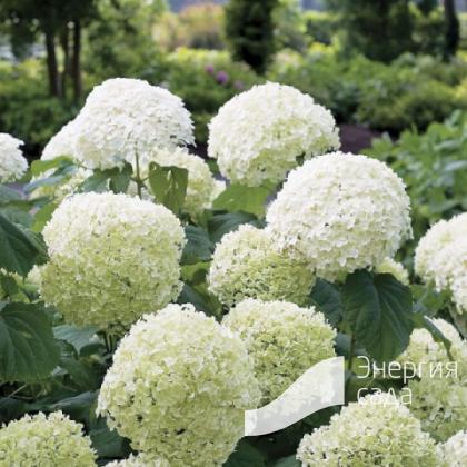 Гортензия древовидная «Инкредибл» (Hydrangea arborescens «Incrediball»).