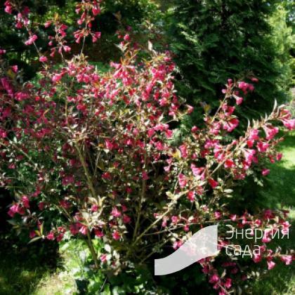 Вейгела цветущая «Нана Пурпуреа» (Weigela florida «Nana Purpurea»).