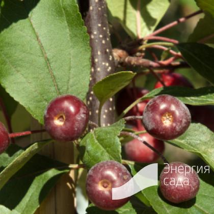 Яблоня «Лизет» (Malus «Liset»)