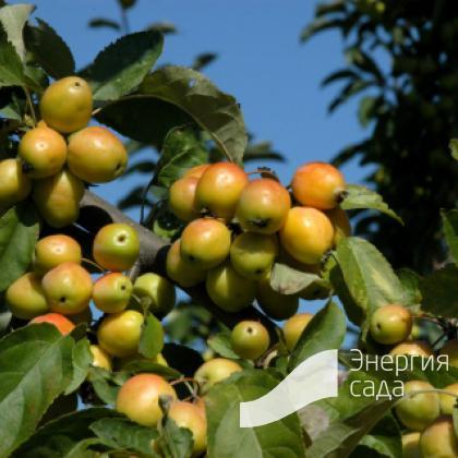 Яблоня декоративная «Голден Хорнет» (Malus «Golden Hornet»)