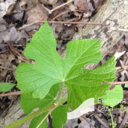Виноград лапчатый ( Vitis palmata ).