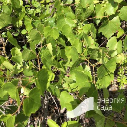 Виноград горный ( Vitis monticola ).