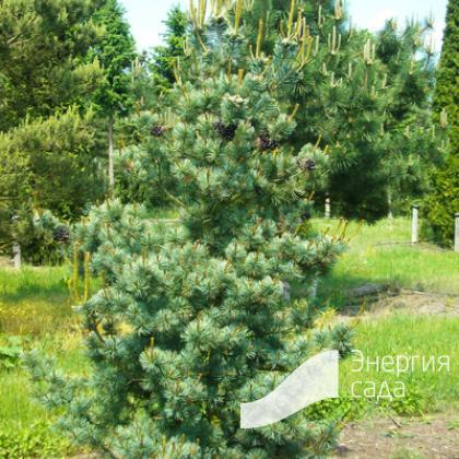 Pinus parviflora «Glauca»