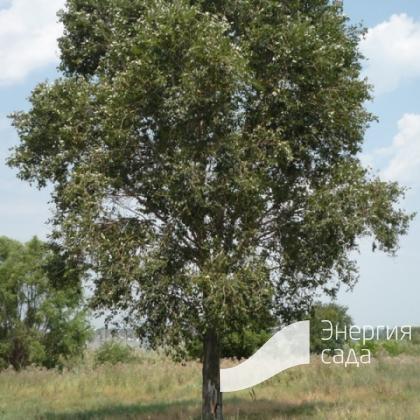Тополь Симона, китайский (Populus chinensis)