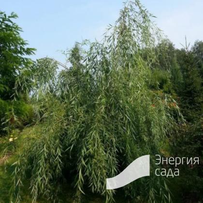 Ива «Свердловская Плакучая» (Salix «Sverdlovskaya Plakuchaya»)
