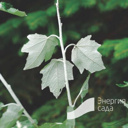 Тополь белый, серебристый «Нивея» (Populus alba «Nivea»)