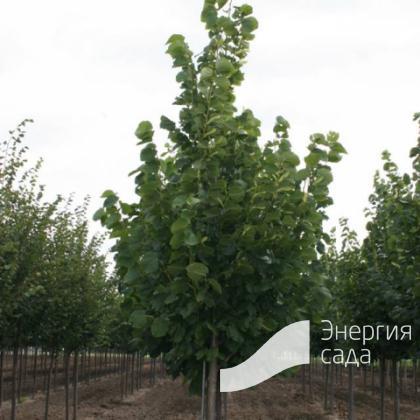 Липа американская «Редмонд» (Tilia americana «Redmond»)