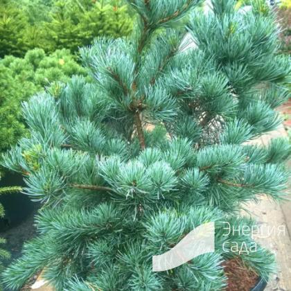 Pinus parviflora «Negishi»