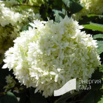 Гортензия древовидная «Хайес Старберст» (Hydrangea arborescens «Hayes Starburst»)