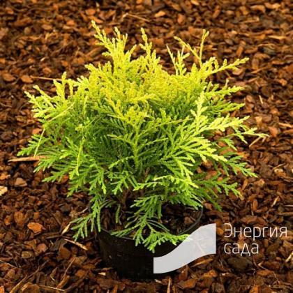 Thuja occidentalis «Danica Aurea»