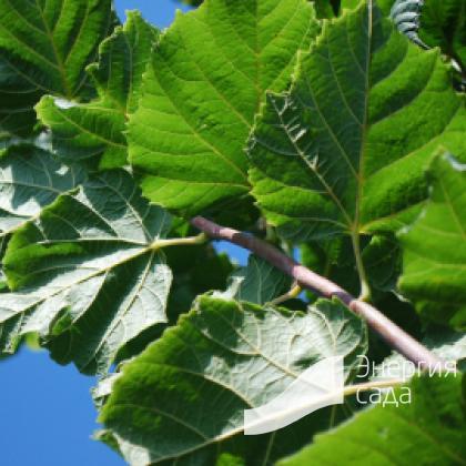 Липа крупнолистная «Рубра» (Tilia platyphyllos «Rubra»)
