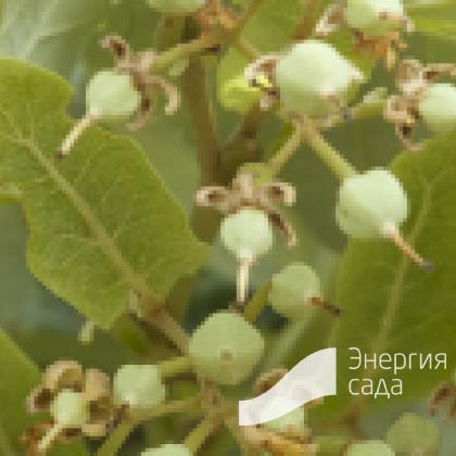Липа войлочная «Брабант» (Tilia tomentosa «Brabant»)