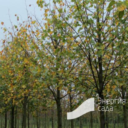 Липа европейская «Эухлора» (Tilia x europaea «Euchlora»)