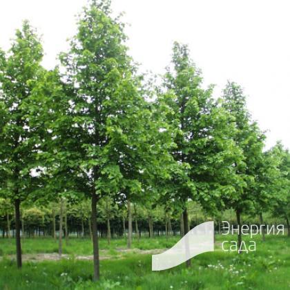 Липа европейская, обыкновенная, средняя (Tilia × europaea)