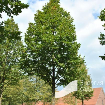Липа крупнолистная «Дельфт» (Tilia platyphyllos «Delft»)