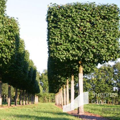 Липа европейская «Паллида» (Tilia x europaea «Pallida»)