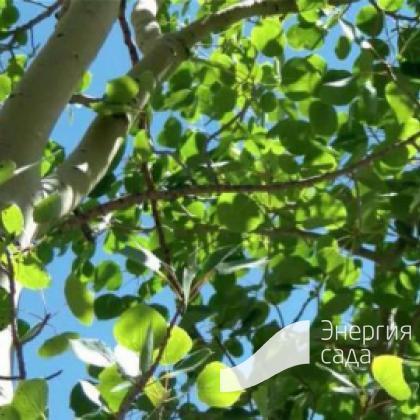 Тополь дрожащий, осина (Populus tremula)