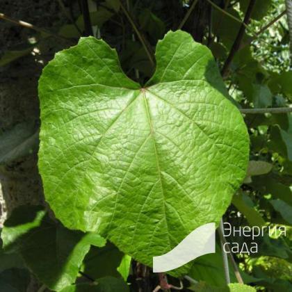 Виноград Тунберга ( Vitis thunbergii ).