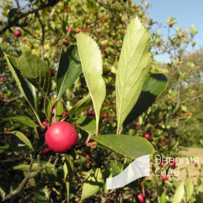 Боярышник сливолистный (Crataegus × persimilis = C. × prunifolia)