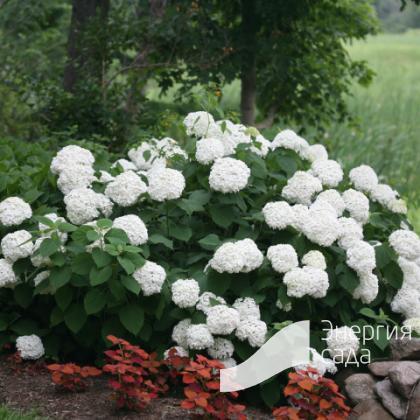 Гортензия древовидная «Инкредибл» = «Стронг Аннабель» (Hydrangea arborescens «Incrediball» = «Strong Annabelle»).
