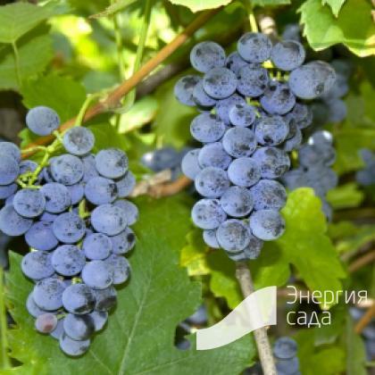 Виноград Лабруска ( Vitis labrusca ).