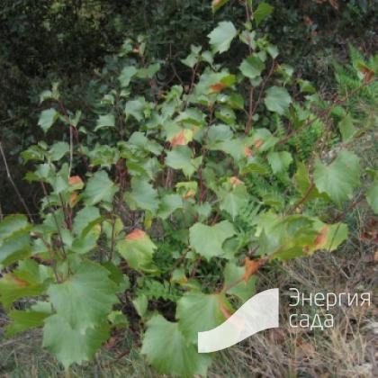 Виноград скальный (Vitis rupestris)