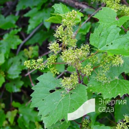 Виноград прибрежный / душистый (Vitis riparia).