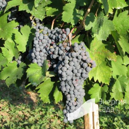 Виноград обыкновенный или Виноград культурный (Vitis vinifera).