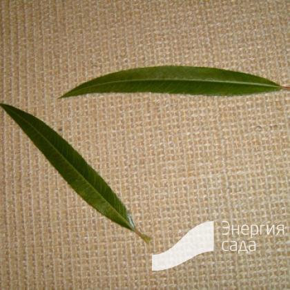 Ива «Уникальная» (Salix «Unikalnaja»)