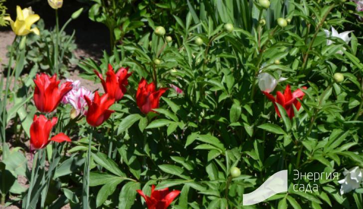 Врезка из пионов с тюльпанами.