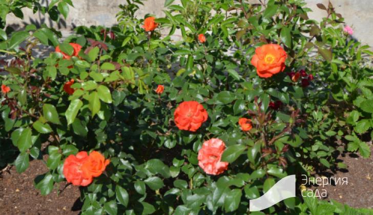 Комбинированная куртина с розами и клубникой.